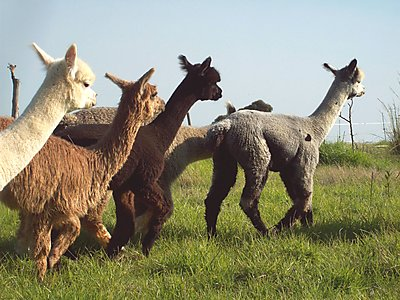 Alpaca Yearlings at The Alpaca Loom.jpg - The Alpaca Loom Coffee Shop image